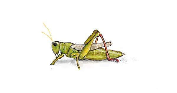 Grasshopper drawing by hhhiiiihhhiii