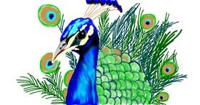 Drawing of Peacock by Tim